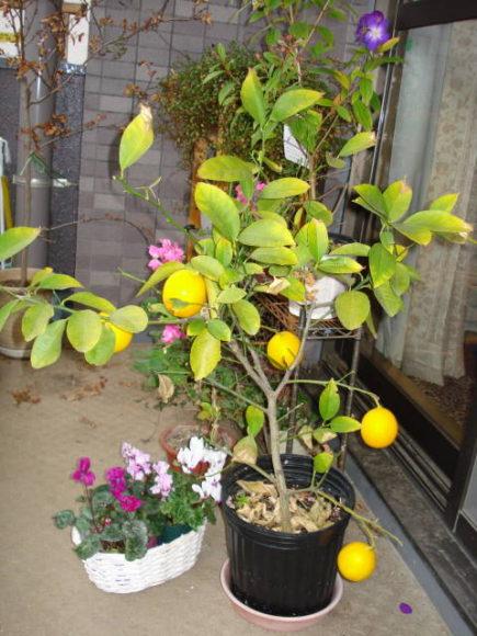 自宅の鉢植えレモン